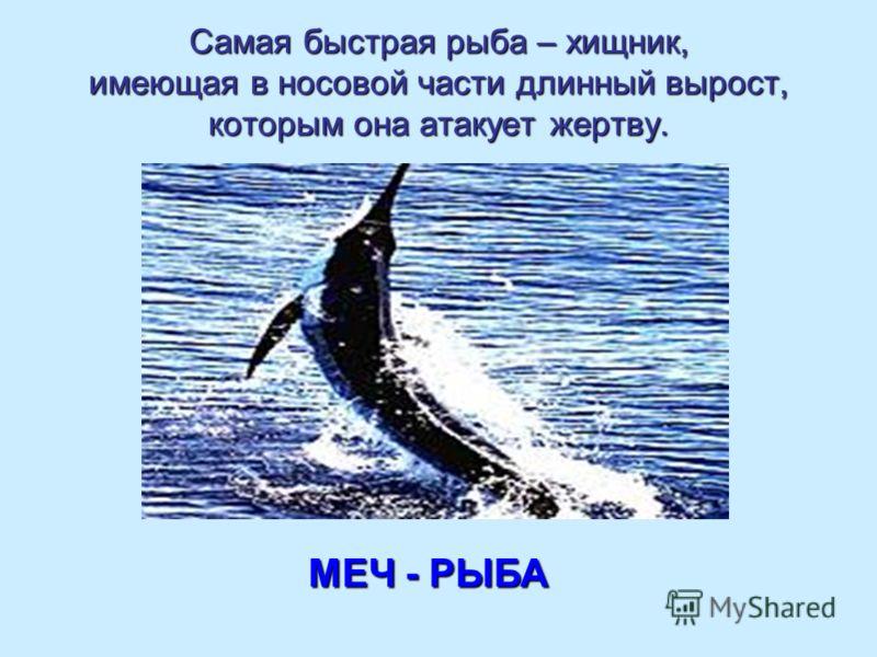 Самая быстрая рыба – хищник, имеющая в носовой части длинный вырост, которым она атакует жертву. МЕЧ - РЫБА