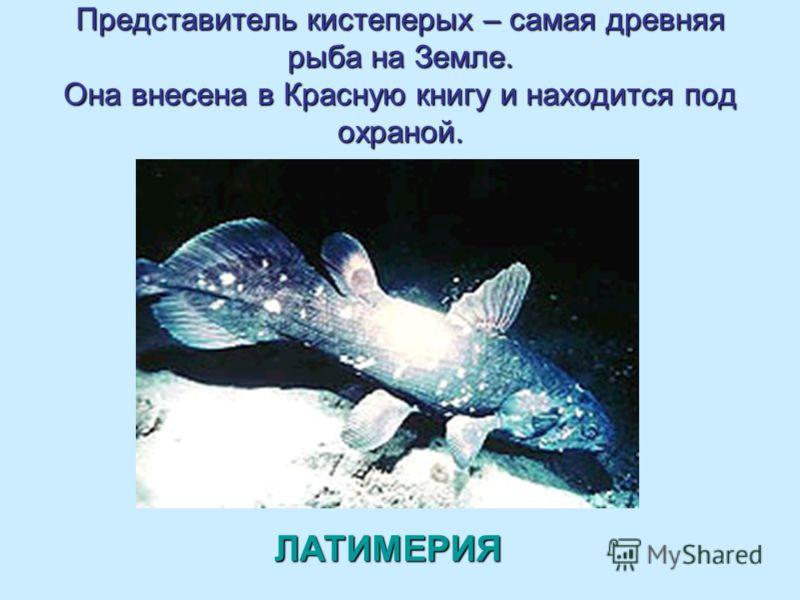 Представитель кистеперых – самая древняя рыба на Земле. Она внесена в Красную книгу и находится под охраной. ЛАТИМЕРИЯ