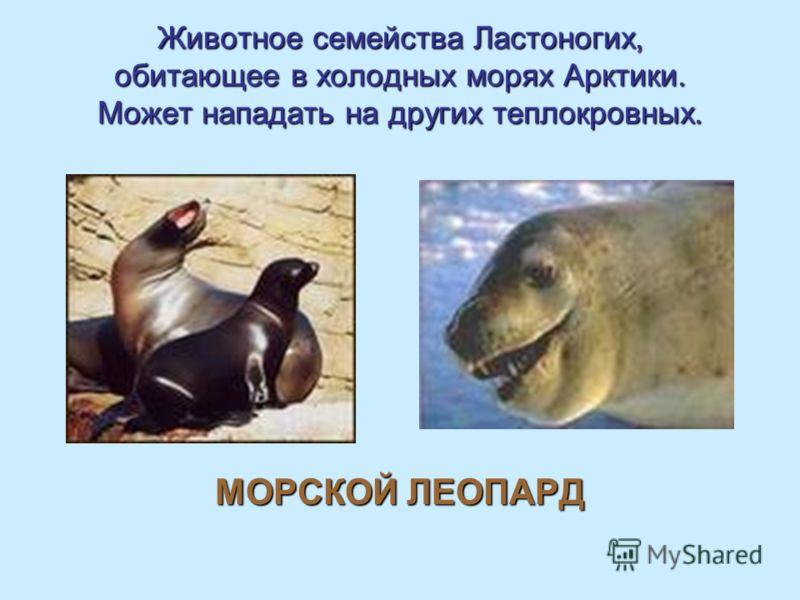 Животное семейства Ластоногих, обитающее в холодных морях Арктики. Может нападать на других теплокровных. МОРСКОЙ ЛЕОПАРД