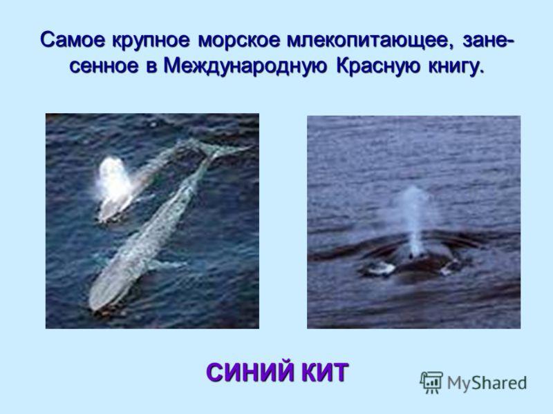 Самое крупное морское млекопитающее, зане- сенное в Международную Красную книгу. СИНИЙ КИТ