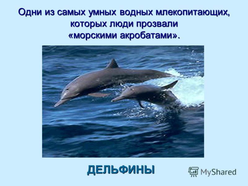 Одни из самых умных водных млекопитающих, которых люди прозвали «морскими акробатами». ДЕЛЬФИНЫ