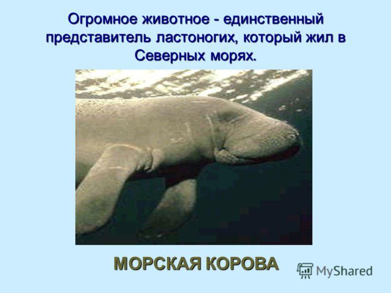 Огромное животное - единственный представитель ластоногих, который жил в Северных морях. МОРСКАЯ КОРОВА