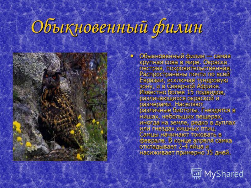 Обыкновенный филин Обыкновенный филин Обыкновенный филин самая крупная сова в мире. Окраска пестрая, покровительственная. Распространены почти по всей Евразии, исключая тундровую зону, и в Северной Африке. Известно более 15 подвидов, различающихся ок