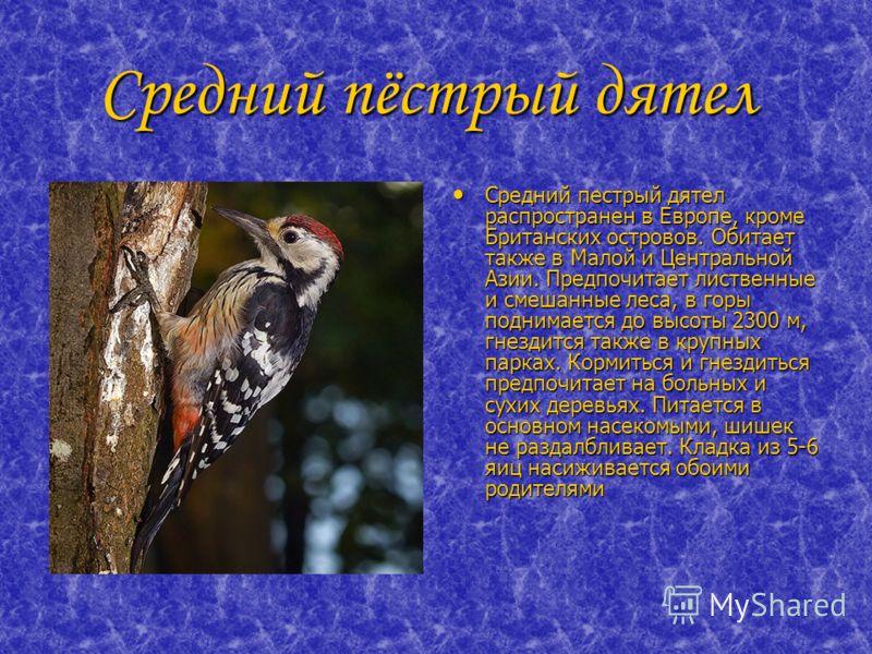 Средний пёстрый дятел Средний пёстрый дятел Средний пестрый дятел распространен в Европе, кроме Британских островов. Обитает также в Малой и Центральной Азии. Предпочитает лиственные и смешанные леса, в горы поднимается до высоты 2300 м, гнездится та