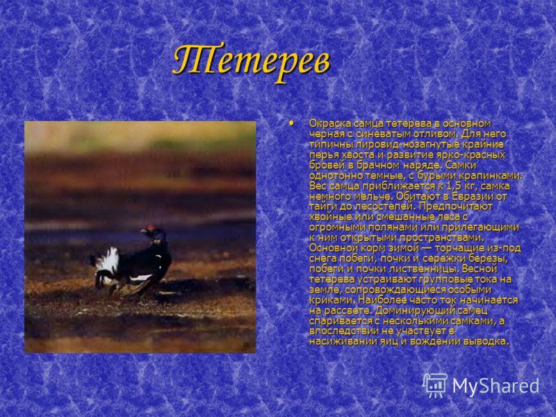 Тетерев Тетерев Окраска самца тетерева в основном черная с синеватым отливом. Для него типичны лировид-нозагнутые крайние перья хвоста и развитие ярко-красных бровей в брачном наряде. Самки однотонно темные, с бурыми крапинками. Вес самца приближаетс