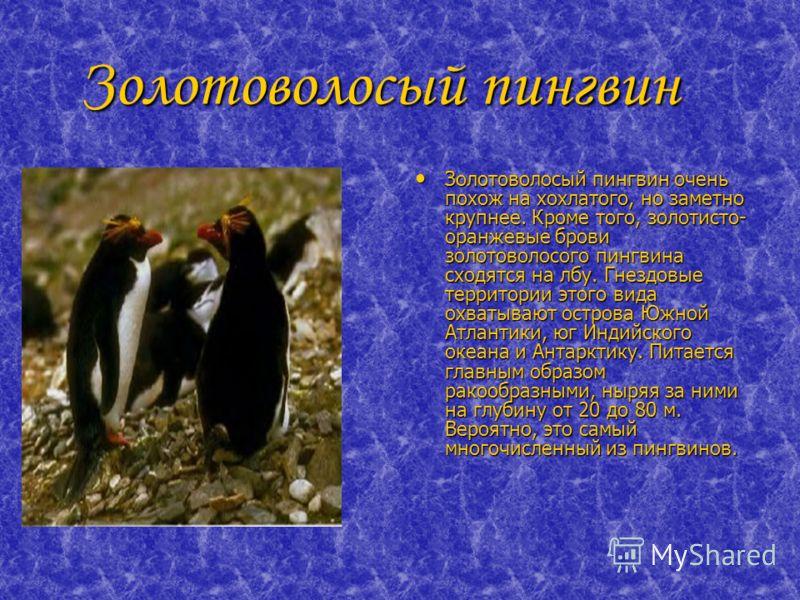 Золотоволосый пингвин Золотоволосый пингвин Золотоволосый пингвин очень похож на хохлатого, но заметно крупнее. Кроме того, золотисто- оранжевые брови золотоволосого пингвина сходятся на лбу. Гнездовые территории этого вида охватывают острова Южной А