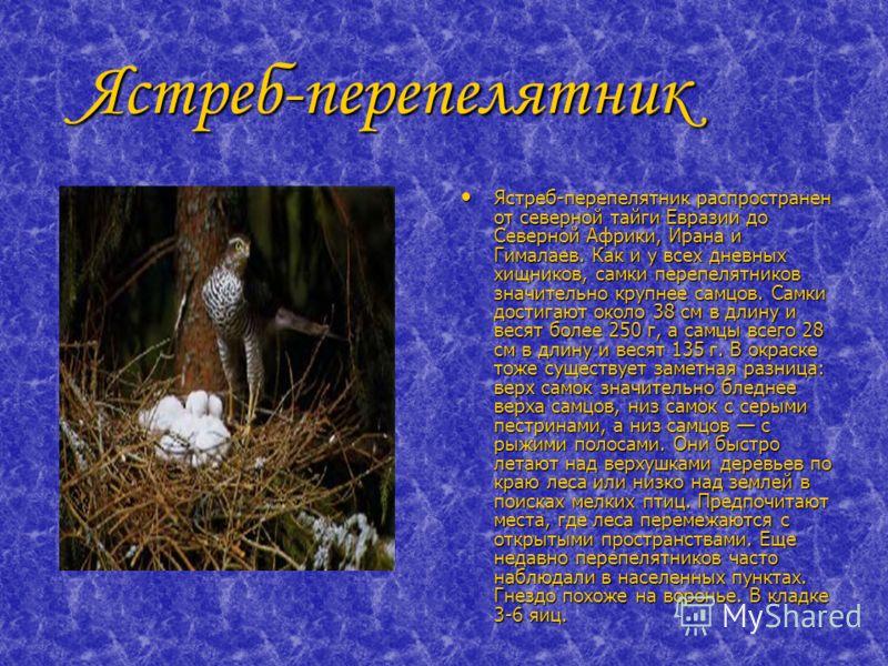 Ястреб-перепелятник Ястреб-перепелятник Ястреб-перепелятник распространен от северной тайги Евразии до Северной Африки, Ирана и Гималаев. Как и у всех дневных хищников, самки перепелятников значительно крупнее самцов. Самки достигают около 38 см в дл