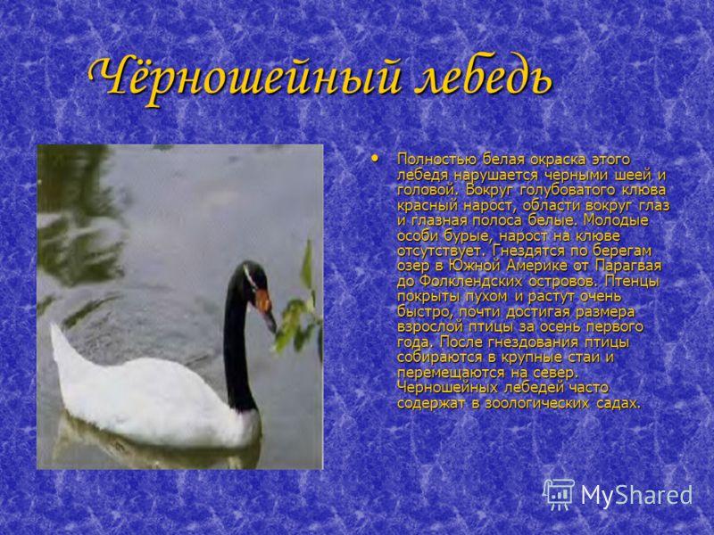 Чёрношейный лебедь Чёрношейный лебедь Полностью белая окраска этого лебедя нарушается черными шеей и головой. Вокруг голубоватого клюва красный нарост, области вокруг глаз и глазная полоса белые. Молодые особи бурые, нарост на клюве отсутствует. Гнез