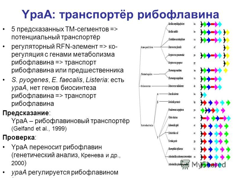 YpaA: транспортёр рибофлавина 5 предсказанных ТМ-сегментов => потенциальный транспортёр регуляторный RFN-элемент => ко- регуляция с генами метаболизма рибофлавина => транспорт рибофлавина или предшественника S. pyogenes, E. faecalis, Listeria: есть y
