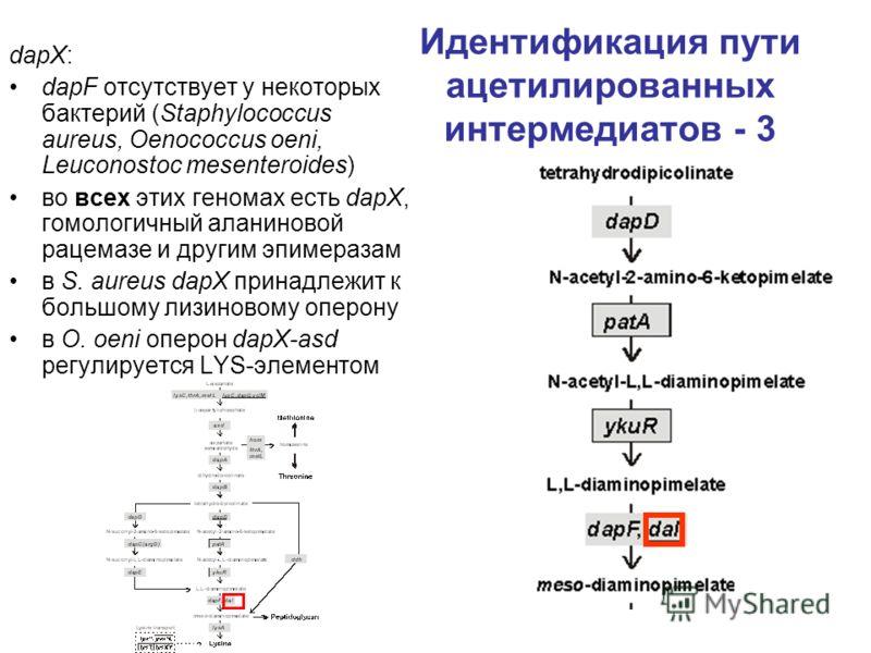 Идентификация пути ацетилированных интермедиатов - 3 dapX: dapF отсутствует у некоторых бактерий (Staphylococcus aureus, Oenococcus oeni, Leuconostoc mesenteroides) во всех этих геномах есть dapX, гомологичный аланиновой рацемазе и другим эпимеразам
