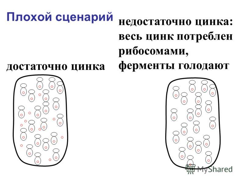 Плохой сценарий достаточно цинка недостаточно цинка: весь цинк потреблен рибосомами, ферменты голодают