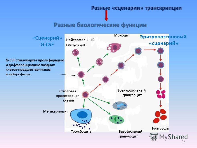 17 Разные «сценарии» транскрипции G-CSF стимулирует пролиферацию и дифференциацию поздних клеток-предшественников в нейтрофилы Разные биологические функции Эритропоэтиновый «сценарий» «Сценарий» G-CSF Нейтрофильный гранулоцит Эритроцит Стволовая кров
