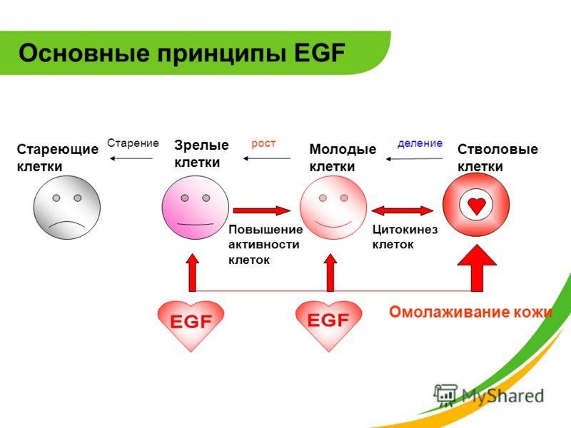 Основные принципы EGF Повышение активности клеток Цитокинез клеток Стволовые клетки Стареющие клетки Зрелые клетки Молодые клетки Старениеростделение Омолаживание кожи