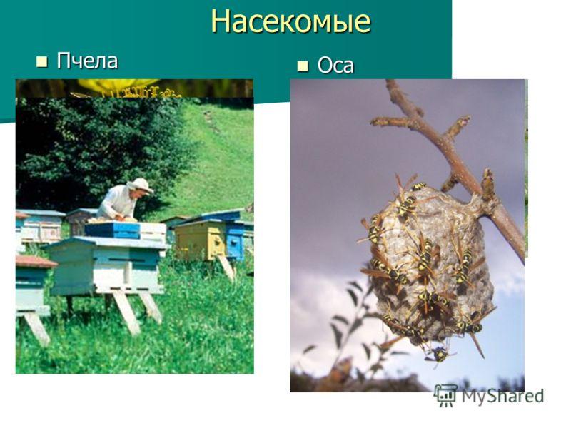 Насекомые Пчела Пчела Оса Оса