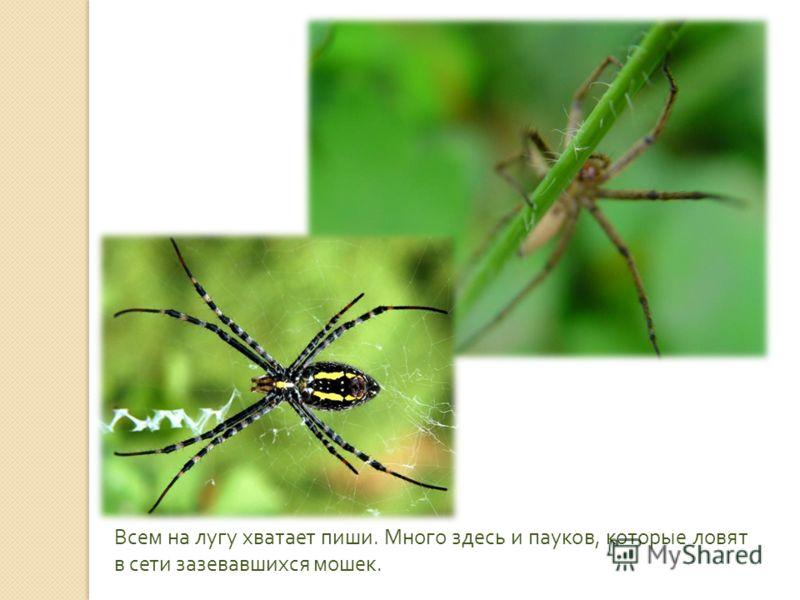 Всем на лугу хватает пиши. Много здесь и пауков, которые ловят в сети зазевавшихся мошек.