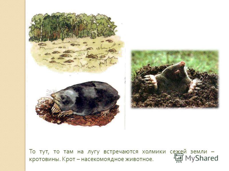 То тут, то там на лугу встречаются холмики сежей земли – кротовины. Крот – насекомоядное животное.