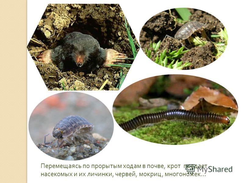 Перемещаясь по прорытым ходам в почве, крот поедает насекомых и их личинки, червей, мокриц, многоножек …