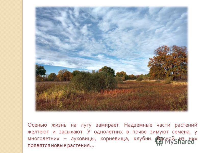 Осенью жизнь на лугу замирает. Надземные части растений желтеют и засыхают. У однолетних в почве зимуют семена, у многолетних – луковицы, корневища, клубни. Весной из них появятся новые растения …