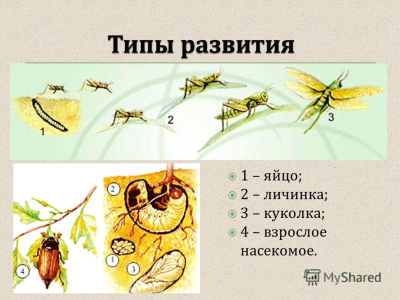 1 – яйцо; 2 – личинка; 3 – куколка; 4 – взрослое насекомое.