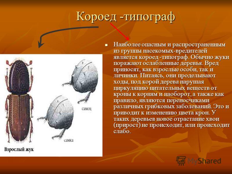 Короед -типограф Короед -типограф Наиболее опасным и распространенным из группы насекомых-вредителей является короед -типограф. Обычно жуки поражают ослабленные деревья. Вред приносят, как взрослые особи, так и личинки. Питаясь, они проделывают ходы,