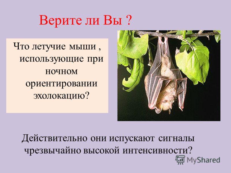 Верите ли Вы ? Что летучие мыши, использующие при ночном ориентировании эхолокацию? Действительно они испускают сигналы чрезвычайно высокой интенсивности?