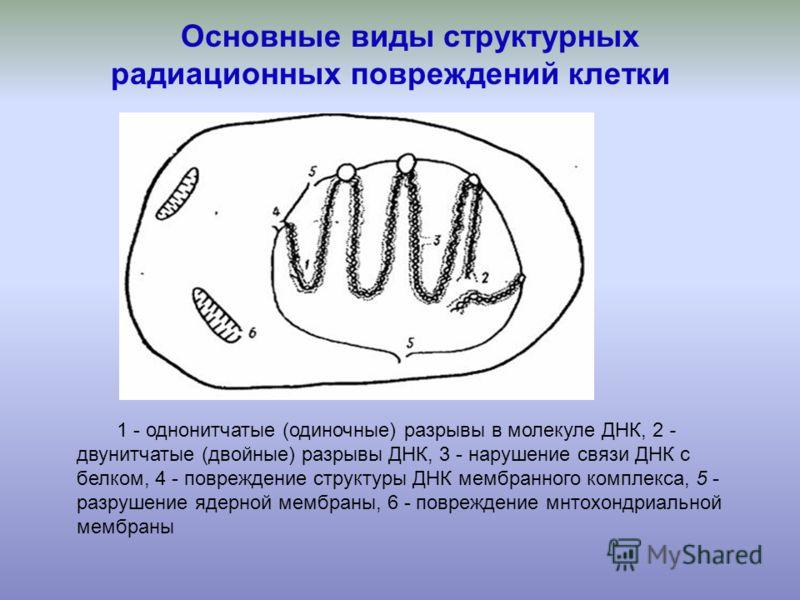 1 - однонитчатые (одиночные) разрывы в молекуле ДНК, 2 - двунитчатые (двойные) разрывы ДНК, 3 - нарушение связи ДНК с белком, 4 - повреждение структуры ДНК мембранного комплекса, 5 - разрушение ядерной мембраны, 6 - повреждение мнтохондриальной мембр