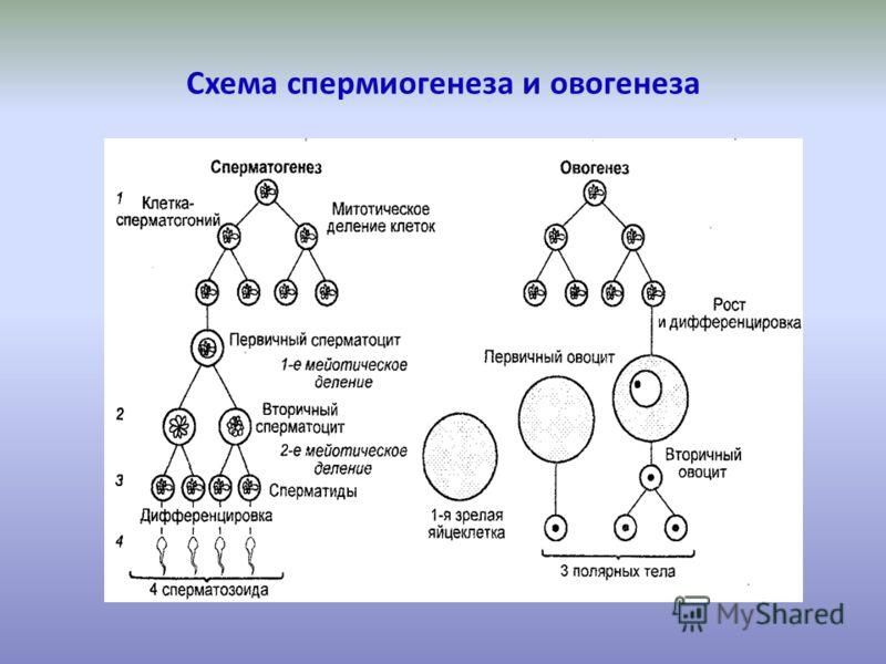 Схема спермиогенеза и овогенеза