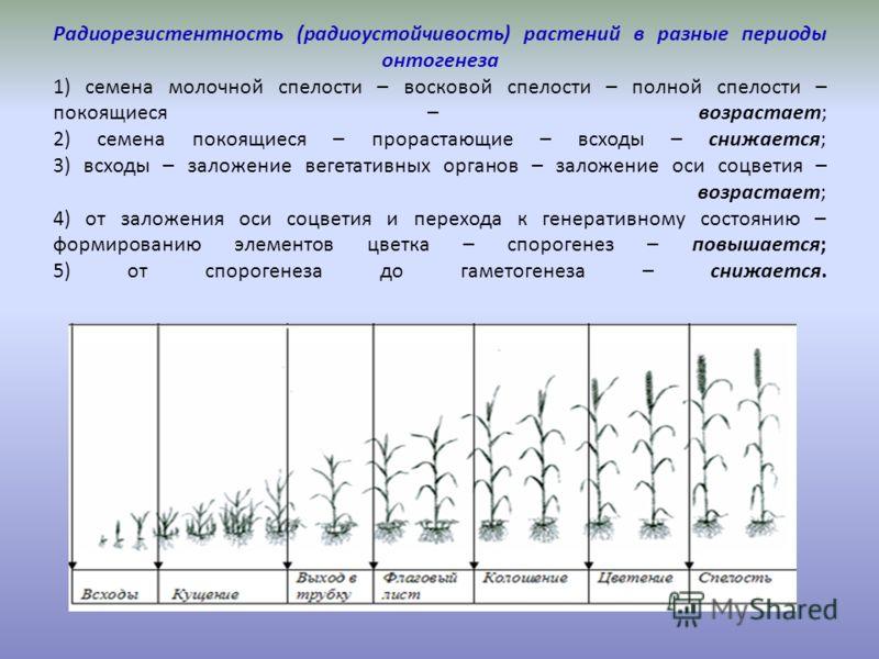 Радиорезистентность (радиоустойчивость) растений в разные периоды онтогенеза 1) семена молочной спелости – восковой спелости – полной спелости – покоящиеся – возрастает; 2) семена покоящиеся – прорастающие – всходы – снижается; 3) всходы – заложение