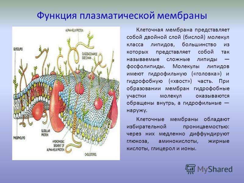 Функция плазматической мембраны Клеточная мембрана представляет собой двойной слой (бислой) молекул класса липидов, большинство из которых представляет собой так называемые сложные липиды фосфолипиды. Молекулы липидов имеют гидрофильную («головка») и