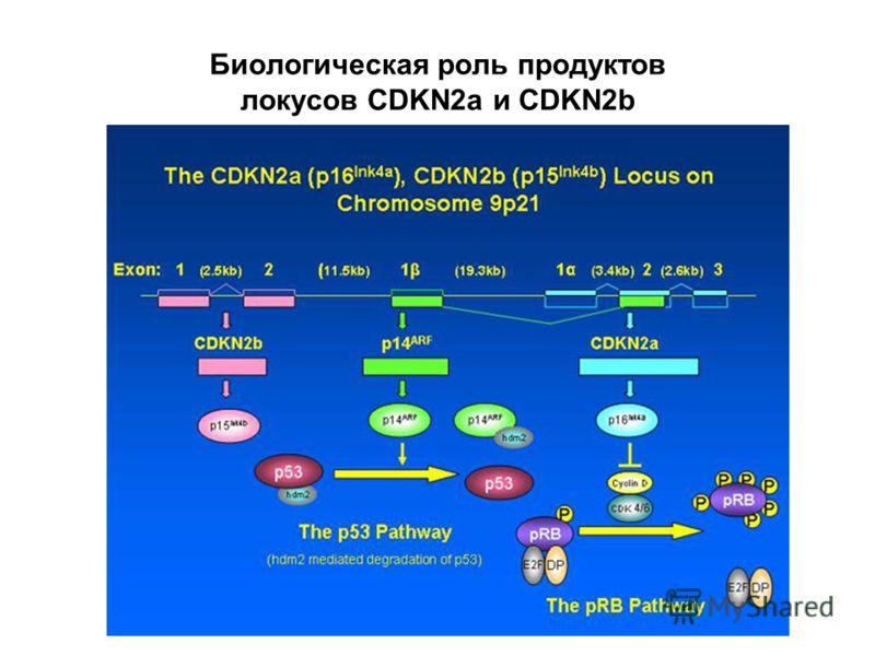Биологическая роль продуктов локусов CDKN2a и CDKN2b