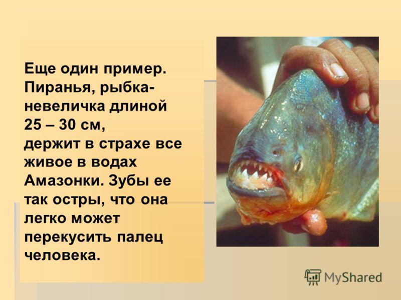 Еще один пример. Пиранья, рыбка- невеличка длиной 25 – 30 см, держит в страхе все живое в водах Амазонки. Зубы ее так остры, что она легко может перекусить палец человека.