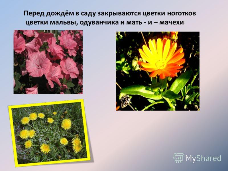 Перед дождём в саду закрываются цветки ноготков цветки мальвы, одуванчика и мать - и – мачехи