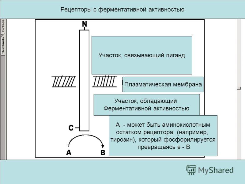 Участок, связывающий лиганд Плазматическая мембрана Участок, обладающий Ферментативной активностью А - может быть аминокислотным остатком рецептора, (например, тирозин), который фосфорилируется превращаясь в - В Рецепторы с ферментативной активностью