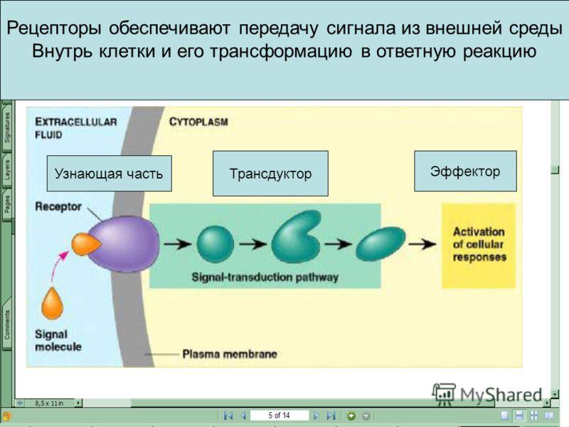 Рецепторы обеспечивают передачу сигнала из внешней среды Внутрь клетки и его трансформацию в ответную реакцию Узнающая часть Трансдуктор Эффектор