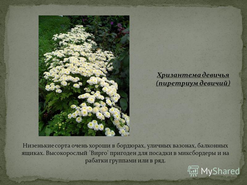 Хризантема девичья (пиретриум девичий) Низенькие сорта очень хороши в бордюрах, уличных вазонах, балконных ящиках. Высокорослый 'Вирго' пригоден для посадки в миксбордеры и на рабатки группами или в ряд.