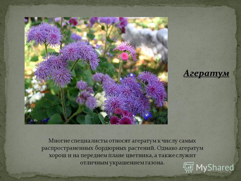 Многие специалисты относят агератум к числу самых распространенных бордюрных растений. Однако агератум хорош и на переднем плане цветника, а также служит отличным украшением газона. Агератум