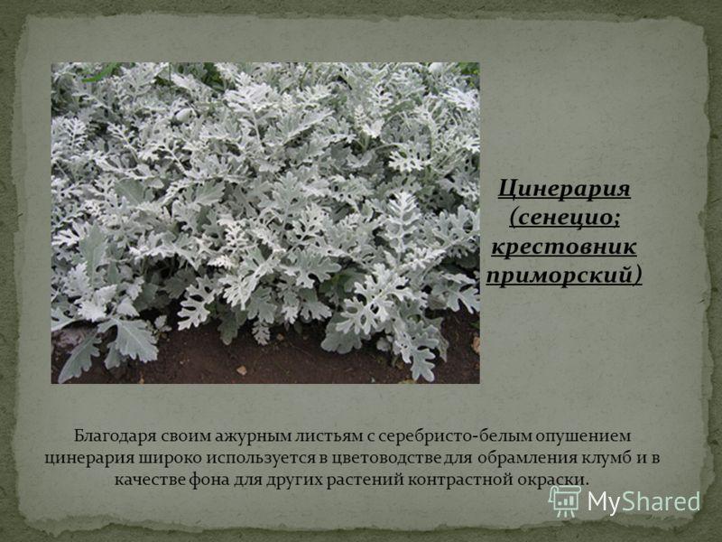 Благодаря своим ажурным листьям с серебристо-белым опушением цинерария широко используется в цветоводстве для обрамления клумб и в качестве фона для других растений контрастной окраски. Цинерария (сенецио; крестовник приморский)