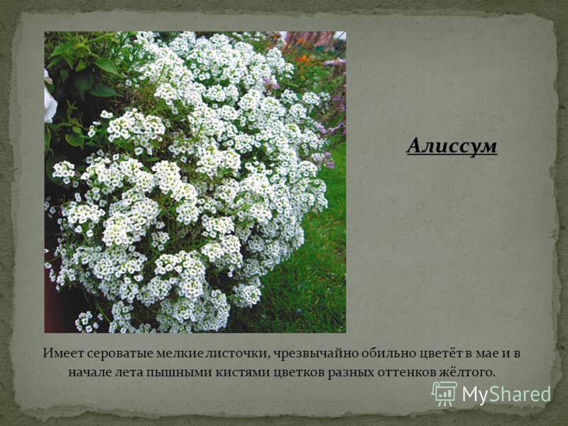 Имеет сероватые мелкие листочки, чрезвычайно обильно цветёт в мае и в начале лета пышными кистями цветков разных оттенков жёлтого. Алиссум