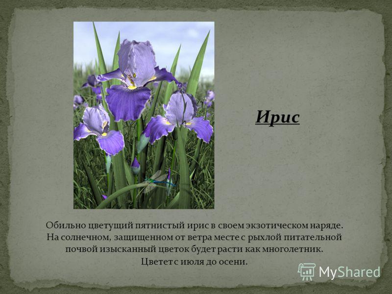 Ирис Обильно цветущий пятнистый ирис в своем экзотическом наряде. На солнечном, защищенном от ветра месте с рыхлой питательной почвой изысканный цветок будет расти как многолетник. Цветет с июля до осени.