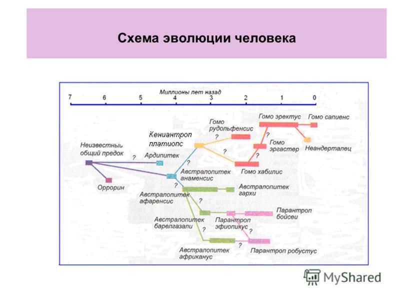Схема эволюции человека