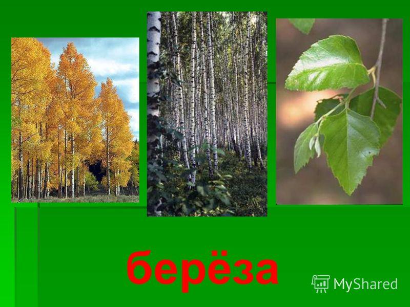 Деревья бывают лиственные и хвойные. Лиственные деревья – это те, которые имеют листву, все хвойные деревья имеют вместо листьев иголки, называемые хвоей. Зимой лиственные деревья опадают, а хвойные сохраняют свою хвою. Назовите лиственные деревья?