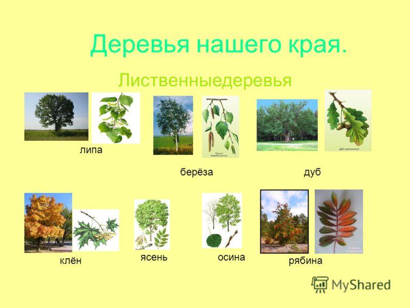 Деревья нашего края. Лиственныедеревья берёзадуб липа клён ясеньосина рябина