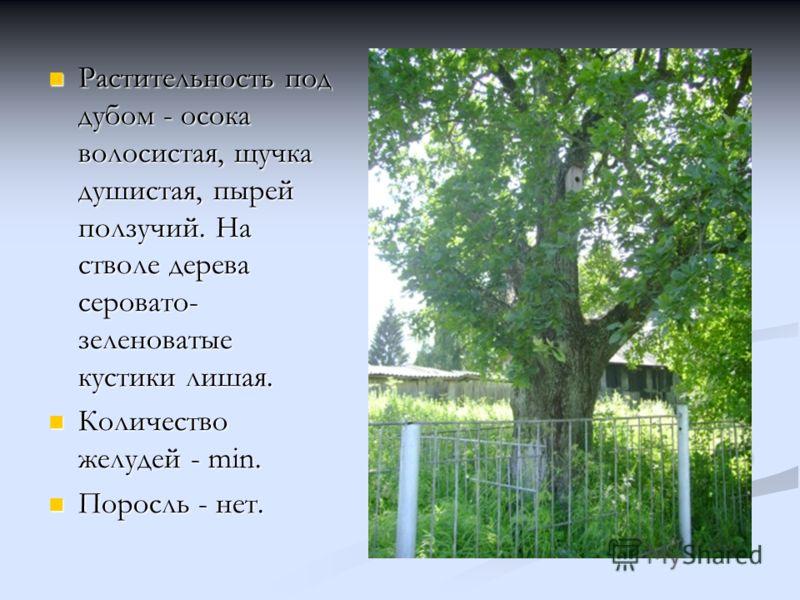 Растительность под дубом - осока волосистая, щучка душистая, пырей ползучий. На стволе дерева серовато- зеленоватые кустики лишая. Растительность под дубом - осока волосистая, щучка душистая, пырей ползучий. На стволе дерева серовато- зеленоватые кус