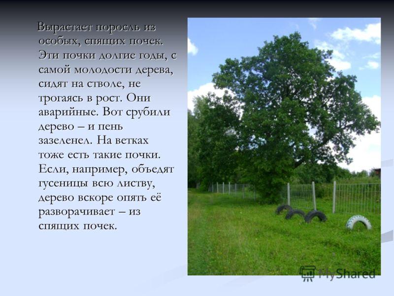 Вырастает поросль из особых, спящих почек. Эти почки долгие годы, с самой молодости дерева, сидят на стволе, не трогаясь в рост. Они аварийные. Вот срубили дерево – и пень зазеленел. На ветках тоже есть такие почки. Если, например, объедят гусеницы в