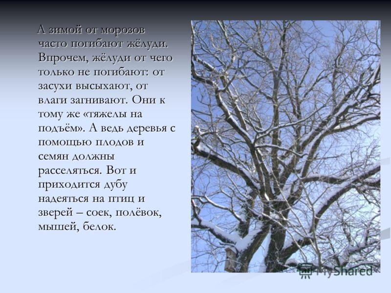 А зимой от морозов часто погибают жёлуди. Впрочем, жёлуди от чего только не погибают: от засухи высыхают, от влаги загнивают. Они к тому же «тяжелы на подъём». А ведь деревья с помощью плодов и семян должны расселяться. Вот и приходится дубу надеятьс