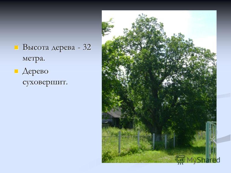 Высота дерева - 32 метра. Высота дерева - 32 метра. Дерево суховершит. Дерево суховершит.