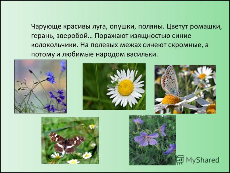 Чарующе красивы луга, опушки, поляны. Цветут ромашки, герань, зверобой… Поражают изящностью синие колокольчики. На полевых межах синеют скромные, а потому и любимые народом васильки.