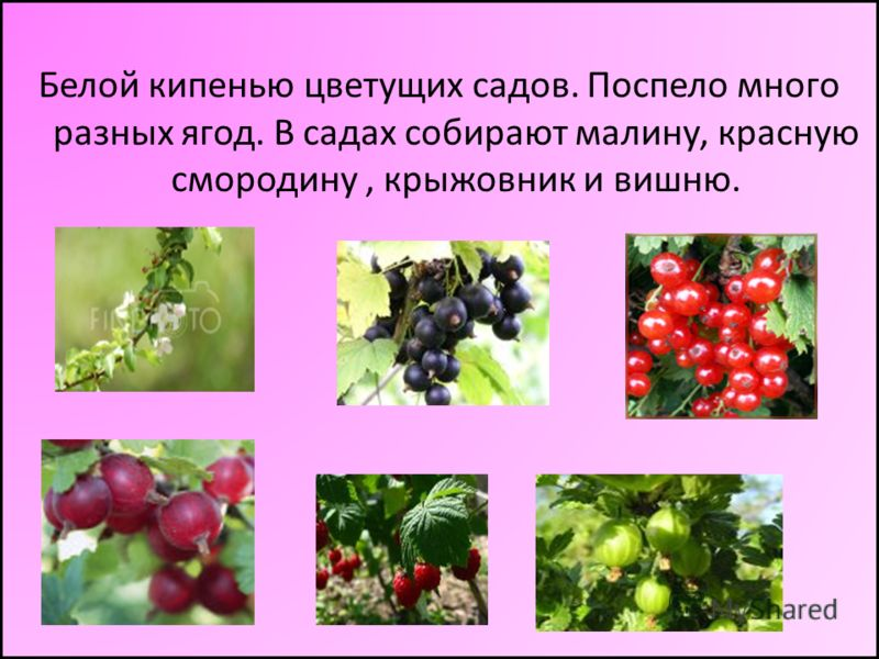 Белой кипенью цветущих садов. Поспело много разных ягод. В садах собирают малину, красную смородину, крыжовник и вишню.