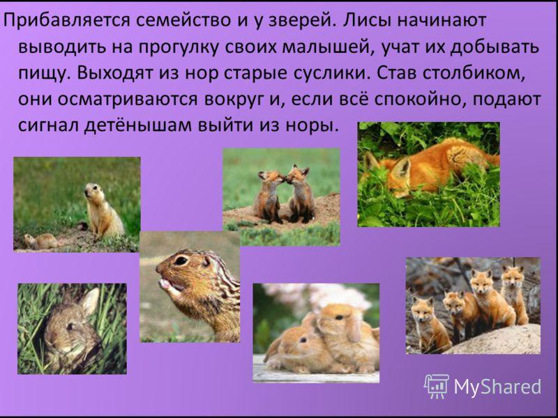 Прибавляется семейство и у зверей. Лисы начинают выводить на прогулку своих малышей, учат их добывать пищу. Выходят из нор старые суслики. Став столбиком, они осматриваются вокруг и, если всё спокойно, подают сигнал детёнышам выйти из норы.