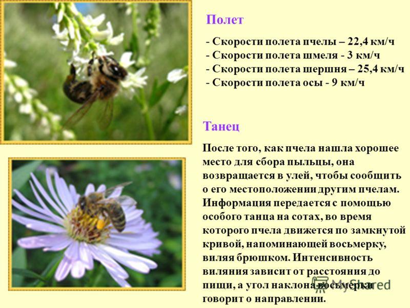 Полет - Скорости полета пчелы – 22,4 км/ч - Скорости полета шмеля - 3 км/ч - Скорости полета шершня – 25,4 км/ч - Скорости полета осы - 9 км/ч Танец После того, как пчела нашла хорошее место для сбора пыльцы, она возвращается в улей, чтобы сообщить о
